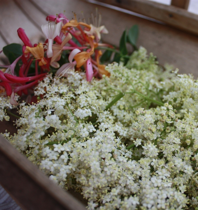 elderflowers 002