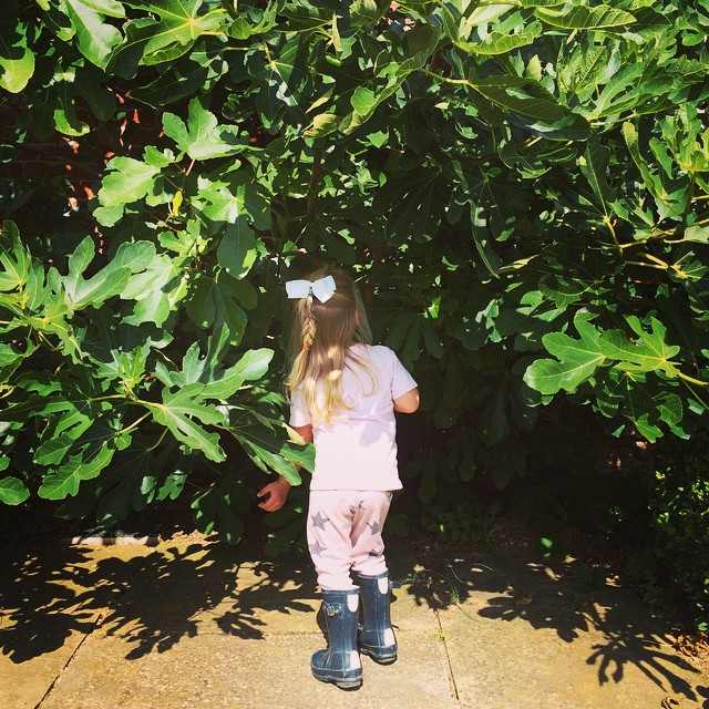 The #figs have arrived. #fruit #figsandicecreforpudding My chief picker in her @hunterboots