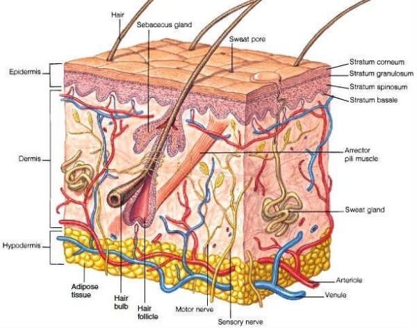 Hypodermis-Skin-Layers-600x472