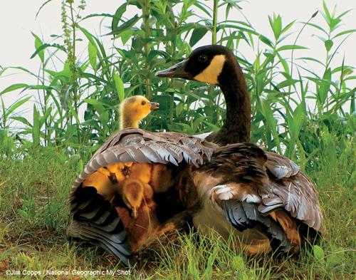 geese_lrg._V135859076_