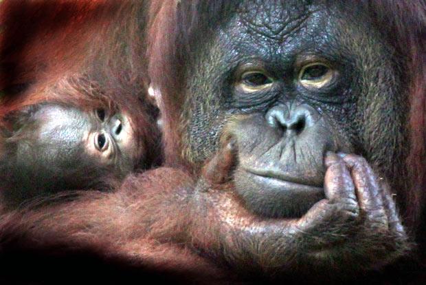 orangutan-baby_1787537i