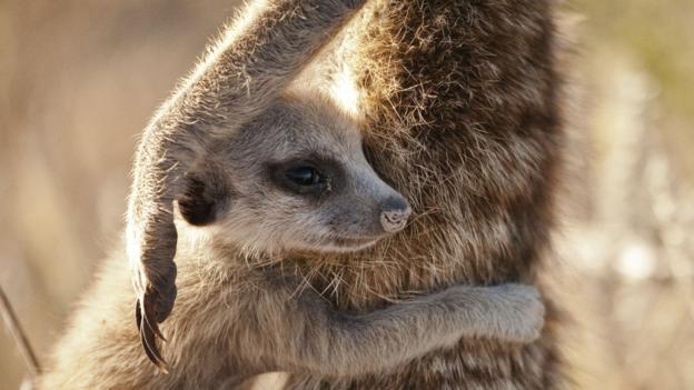 WARNING: Embargoed for publication until: 14/10/2014 - Programme Name: Life Story - TX: n/a - Episode: n/a (No. 1) - Picture Shows: A meerkat (Suricata suricatta) pup clings to an adult in the Kalahari, South Africa. Pups are vulnerable to all sorts of dangers, so rely on adults for safety and guidance. - (C) Sophie Lanfear - Photographer: Sophie Lanfear