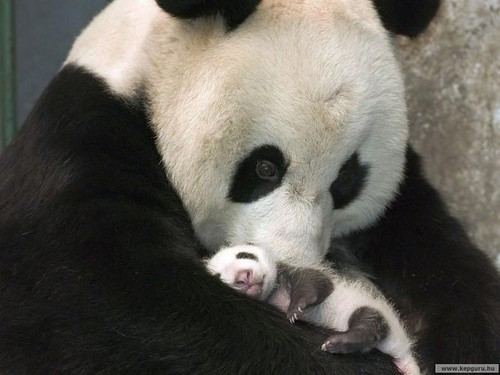 panda,animals,animal,cute,babypanda,baby-cdc5e184352330c3c34170d604dd2a17_h