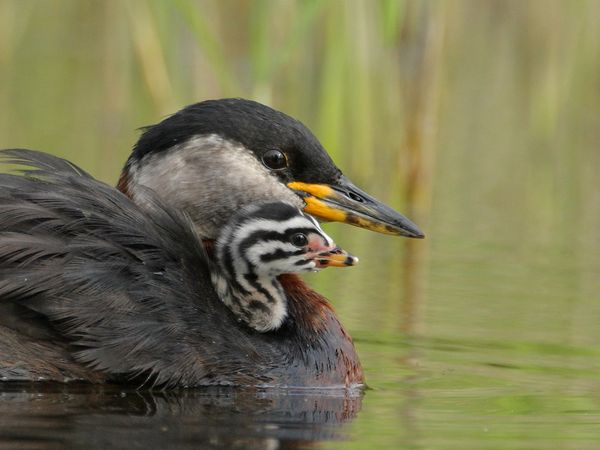 red-necked-grebes-swimming_19893_600x450