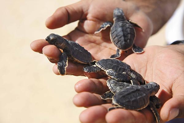 baby-turtles-oman-1