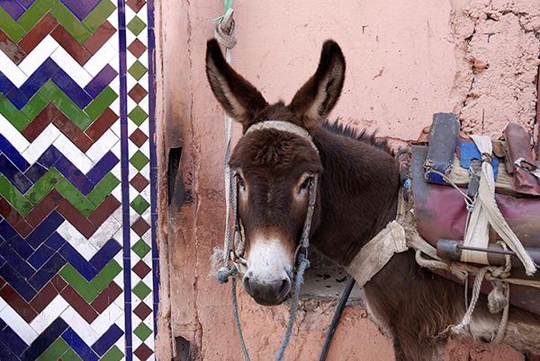 donkey-in-marrakech