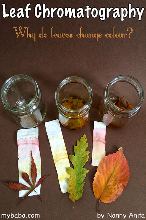Leaf Chromatography. Why do leaves change colour? This simple STEM activity shows you what colours make up a leaf.